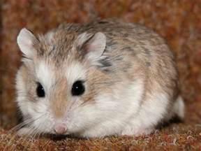roborovski hamster facts dwarf robo roborovski hamster