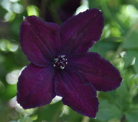 Und Clematis 3337 by 593 Best Wonderful Clematis Images On