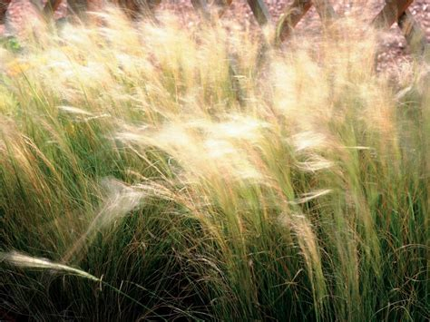 Types Of Decorative Grasses by Types Of Ornamental Grasses Diy