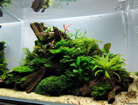 aquascape aquarium pogostemon helferi downoi flowgrow aquatic plant database
