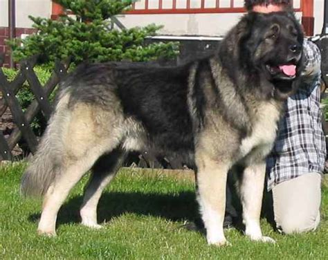 kaukasian dog with short hair excitement n net gigantic dogs caucasian shepherd dog