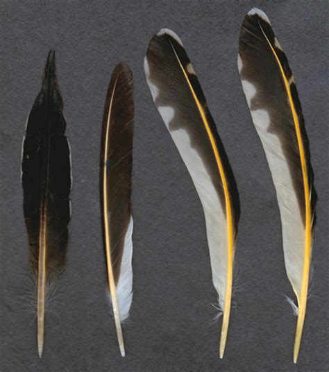 northern flicker feathers by tichodromamuraria on deviantart