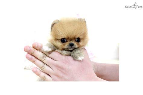pomeranian puppies jackson ms tiny teacup pomeranian breeds picture