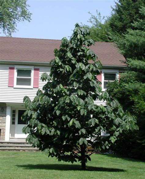 fruit trees in ohio humble pawpaw tree becoming hip landscape plant