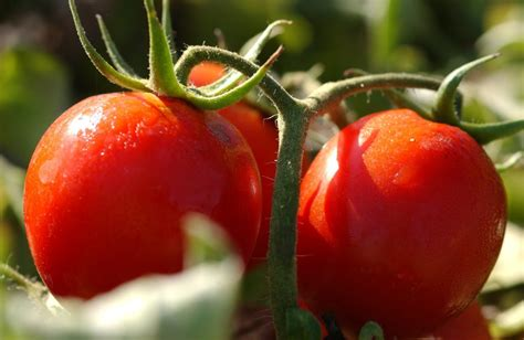 kesaksian budidaya tomat nasa kerinci ptnatural nusantara