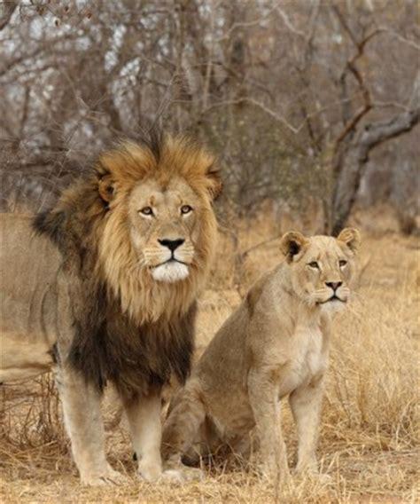 imagenes de leones macho y hembra reproducci 243 n sexual en animales con ciencia