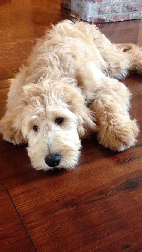 goldendoodle puppy checklist goldendoodle on my noodle breeds picture