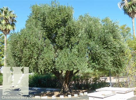 top 28 fruitless olive tree growth rate texture other