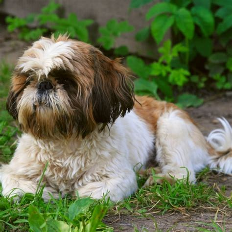 shih tzu don t shih tzu puppy shih tzu breed information