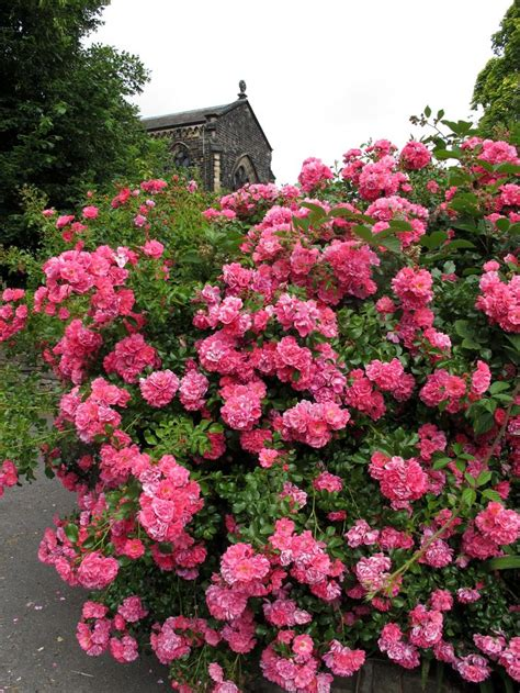 pink shrub rose roses pinterest