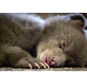 Baby Bear Tahoe Belongs In Humboldt Says Mysterious