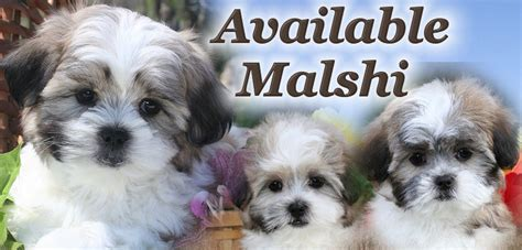 chicago puppies for sale malshi puppies for sale in illinois near chicago