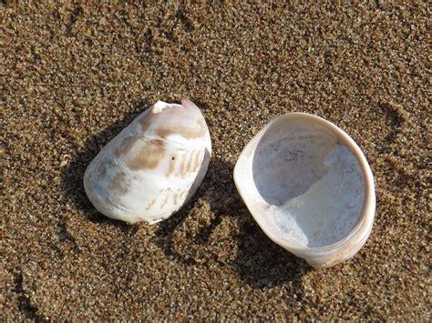 what are slipper shells common atlantic slipper shell or slipper limpet speciesinfo