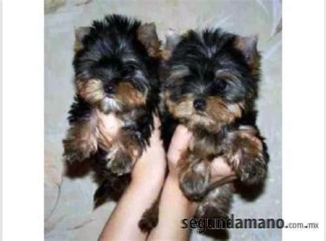 yorkies for sale in milwaukee milwaukee yorkies for sale for sale adoption from sacramento wisconsin adpost