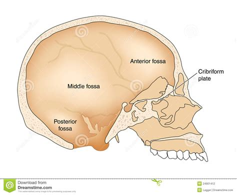 skull cross section cross section through skull stock photography image