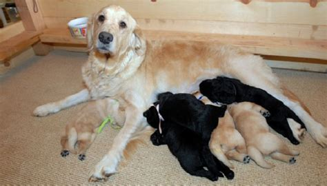 lab cross golden retriever 26 labrador cross breeds you to see to believe