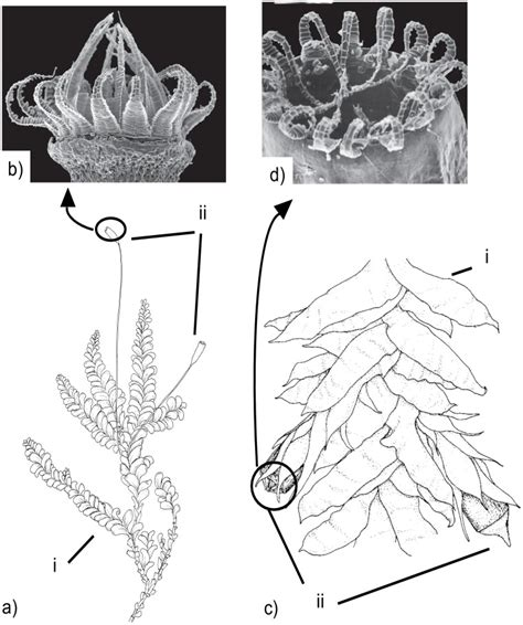 section 22 2 bryophytes image gallery sporophyte structure