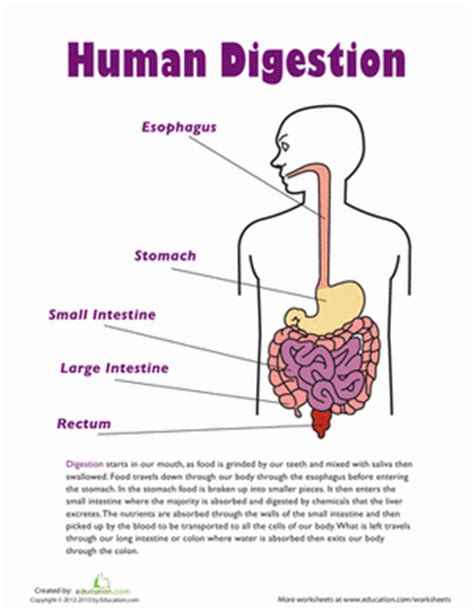 grade 5 human worksheets human digestion worksheet education