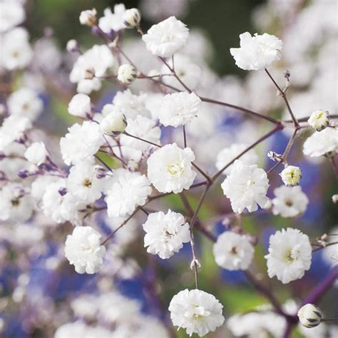 Indoors Garden by Gypsophila Paniculata Snowflake Seeds From Mr Fothergill S