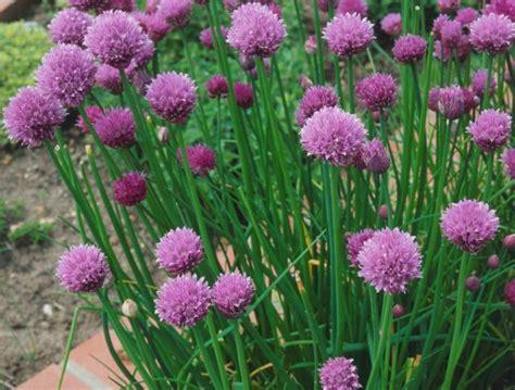 Biji Bunga Allium cara menanam kucai dari biji bibitbunga