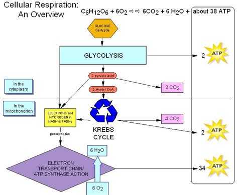 Collection Of Respiration Flow Chart Aerobic Cellular Respiration