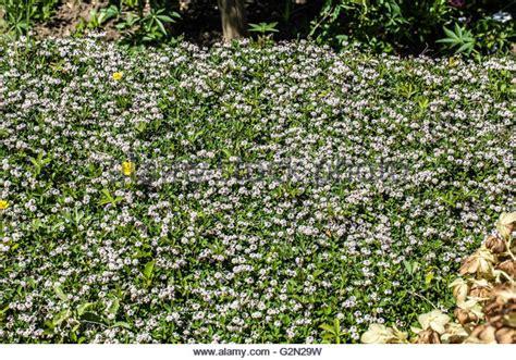 teppich verbene lippia stock photos lippia stock images alamy