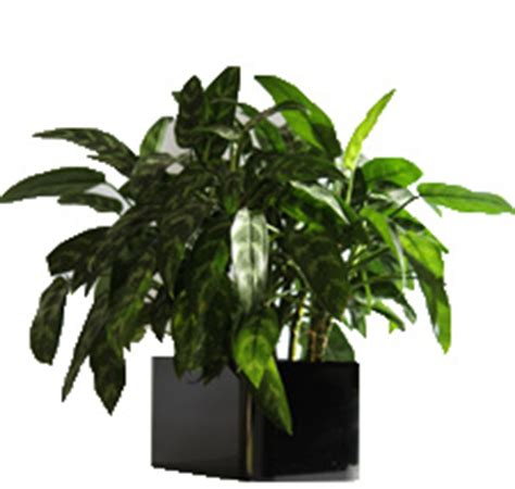 care of china doll plant traditional house plants