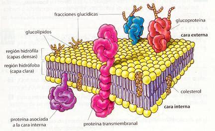 partes de la membrana celular membrana celular membrana plasm 225 tica funci 243 n partes