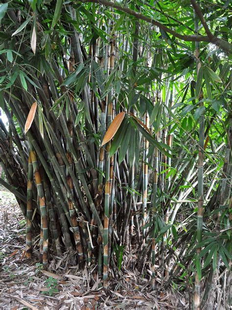 bambu talang wikipedia bahasa indonesia ensiklopedia bebas