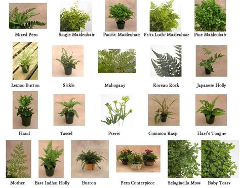 types of ferns 1 10 from 50 votes 5 54 picture pl ferns pinterest angel ferns and types