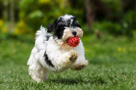 havanese puppy names the most popular names of all time may you
