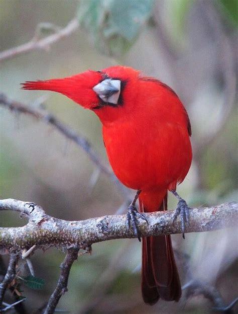 Cardinal Casaual 1000 images about cardinal bird on trees a
