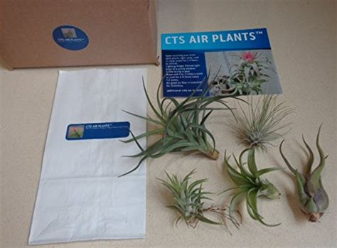 cts air plants assorted tillandsia air plants 5 plants