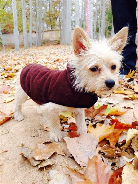 chorkie grooming 17 best images about romy on pinterest plays yorkie and