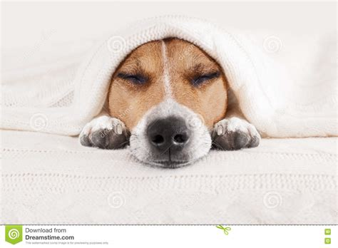 dogs in bed sleeping dog in bed stock photo image 74240363