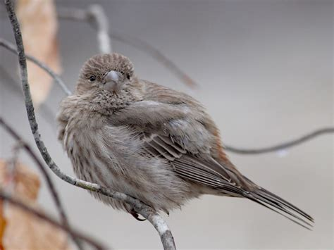 house finch female house finch female feederwatch