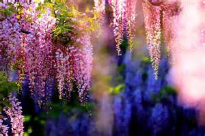 Wisteria Wallpaper Wallpaper Wisteria Tree Is Extreem Beauty Of Nature