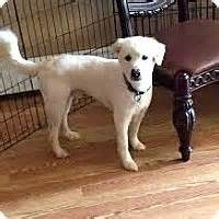 golden retriever island ny staten island ny golden retriever mix meet marzipan a for adoption