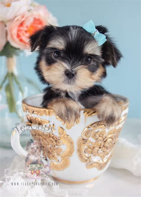morkie puppies for sale morkie puppies and designer breed puppies for sale by teacups puppies teacups