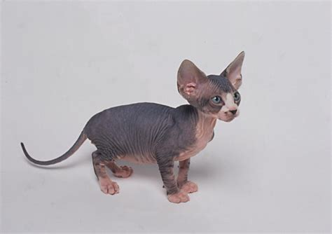 Your Cat   Sphynx Cat Breed Profile   Cat Breed Profiles