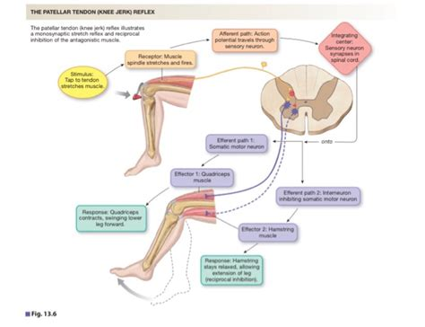 diagram of knee reflex solved label the components of a knee reflex part a