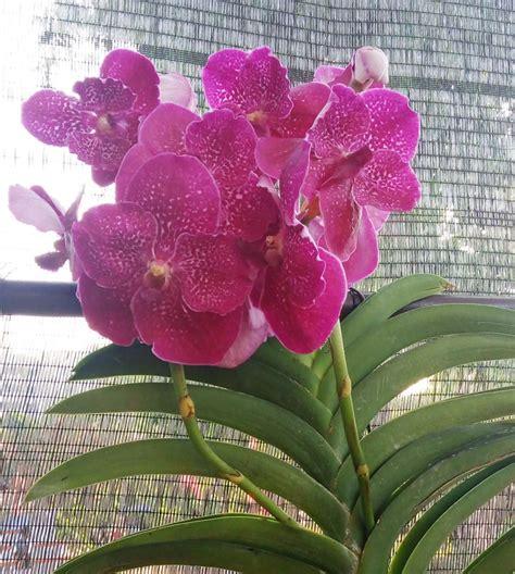 Bibit Anggrek Phalaenopsis rangsang anggrek phalaenopsis bebeja