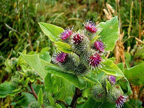 Kitchen Herb Garden Design how to grow burdock growing burdock