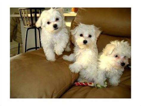 pomeranian puppies for sale in baton dogs baton la free classified ads