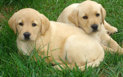 pictures of lab puppies labrador retriever hd wallpapers