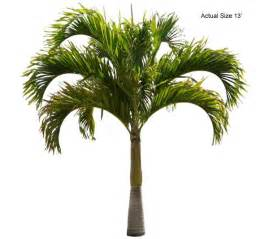 christmas palm tree veitchia merrillii real palm trees