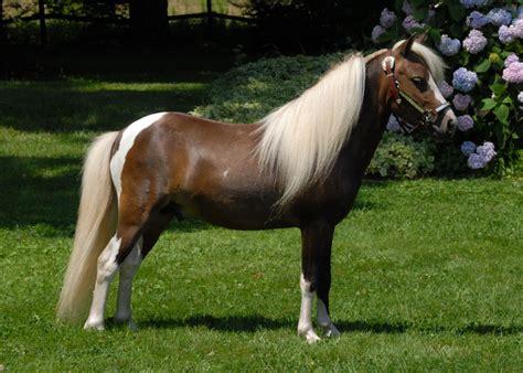 mini pony miniature horses related keywords suggestions