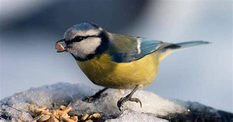 comment aider les oiseaux 224 se nourrir l hiver