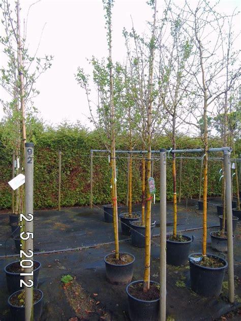 Gro E B Ume Verpflanzen 3752 by Dornb 228 Ume Baumschule Pflanzen Gro 223 E Pflanzen Und B 228 Ume