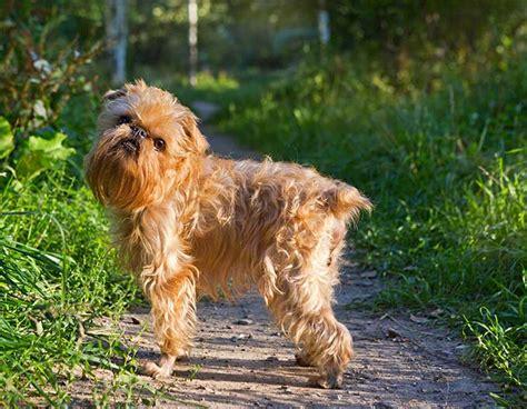 griffon puppies brussels griffon